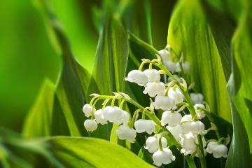Maiglöckchen, Frühling, Frühlingsblumen, Beauty, BeuatyZoom, Natur, Frühlingserwachen